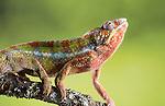 Ambilobe Panther Chameleon