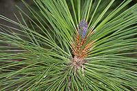 Gelb-Kiefer, Gold-Kiefer, Gelbkiefer, Goldkiefer, Ponderosa-Kiefer, Pinus ponderosa, ponderosa pine, bull pine, blackjack pine, western yellow-pine, Le pin ponderosa