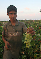 "Palestinian farmer harvest grapes in light of the Israeli closure of commercial crossings with the Gaza Strip after Hamas control of the Gaza Strip August 20, 2007.""photo by Fady Adwan"""