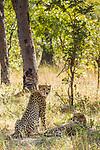 Cheetah (Acinonyx jubatus) four year old male brothers in miombo woodland, Kafue National Park, Zambia