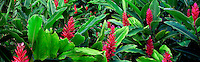Red Ginger (Alpinia purpurata) on the road to Hana. Mauai, Hawaii