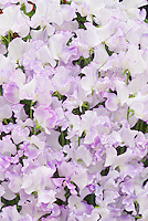 Lathyrus odoratus 'Lilac Ripple sweet peas flowers in lavender and white bicolor bicolour