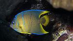 Queen angelfish juvenile, Holacanthus ciliaris