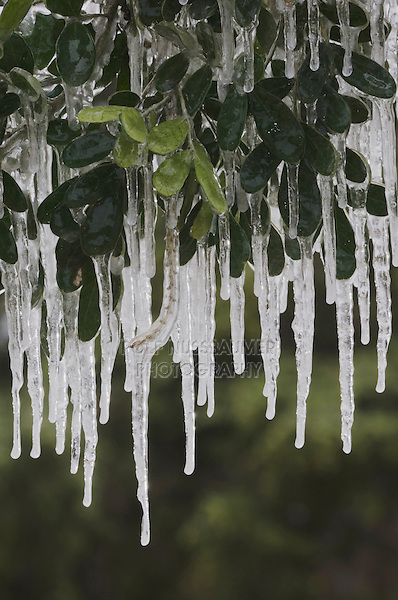 Texas Mountain Laurel, Sophora secundiflora, plant covered in ice after ice storm, New Braunfels, Texas, USA