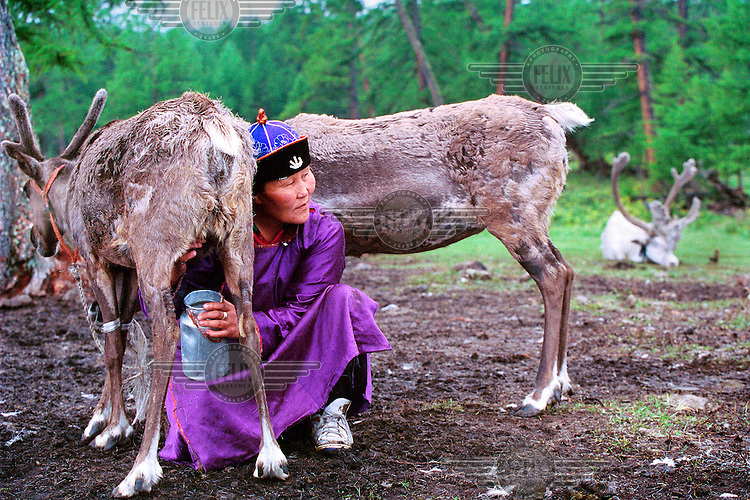 Enktoeia milking one of her reindeer. She is head of a Tsaatan family, who live with their 30 reindeer near Khovsgol Lake. They made the decision to live in Khovsgol National Park, 300km from their homeland, to make an income from tourism. Mongolians and foreigners come to see the reindeer being milked and pose for pictures..The Tsaatan are a nomadic people from a remote area, Tsaagaan Nuur, near the border with Siberia. The community is diminishing, with only 30 families and 300 reindeer left. With the closure of the border between Mongolia and Siberia the nomadic life became more difficult.