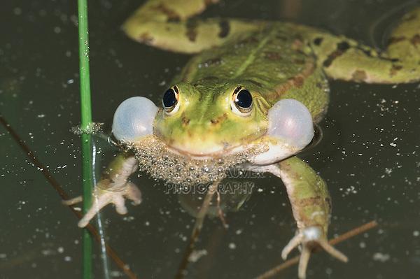 Edible Frog (Rana esculenta), male in water calling, Switzerland