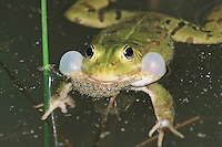 Edible Frog (Rana esculenta), male in water calling, Switzerland