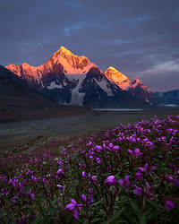 Pre-dawn alpenglow almost an hour before sunrise, behind a grove of wildflowers and rapidly receding glacier.