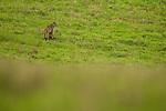 Bobcat (Lynx rufus) female in field, Point Reyes National Seashore, California