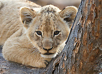 We had a couple of great sessions with lion cubs at MalaMala and Tswalu.