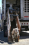 Crews unload a truckload of sheep in Carson City on Thursday, April 17, 2014. Approximately 1,000 ewes and lambs will graze the hills along the west side of Carson City as part of a program to reduce cheat grass and other fire fuels. (Las Vegas Review-Journal/Cathleen Allison)