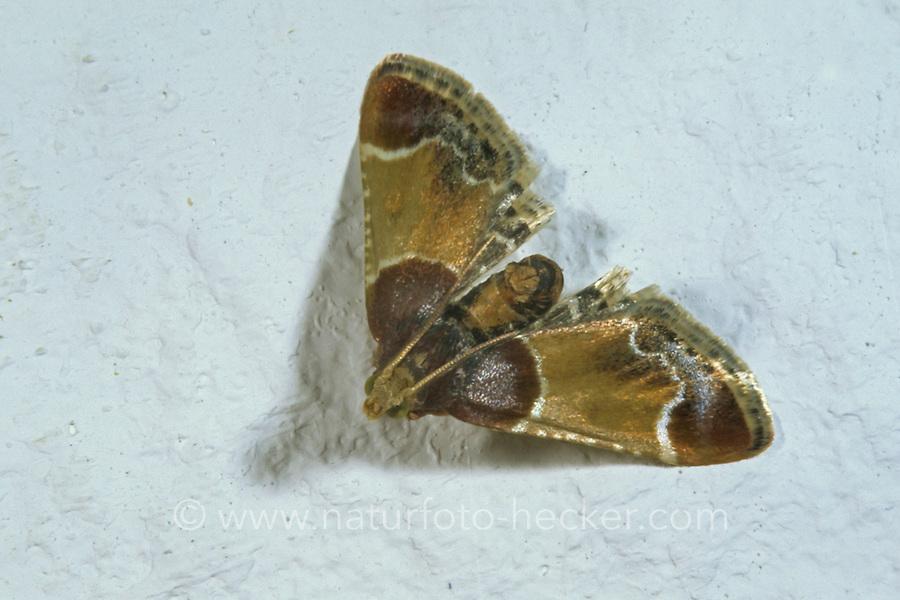 Mehlzünsler, Mehl-Zünsler, Pyralis farinalis, meal moth, Flour Moth, la Pyrale de la farine, Vorratsschädling, Zünsler, Pyralidae