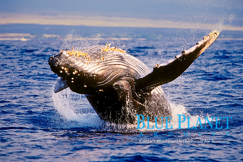 humpback whale, breaching, Megaptera novaeangliae, note parasitic acorn barnacles, Coronula diaderma, and long-necked goose barnacles, Conchorderma auritum, under chin, Hawaii, Pacific Ocean
