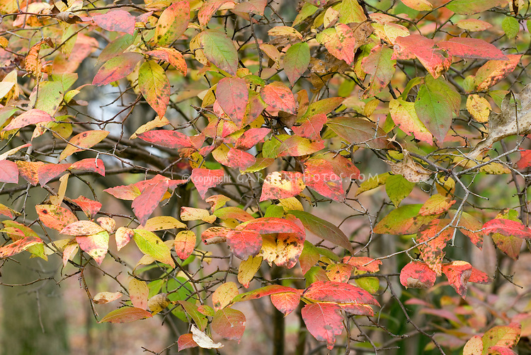 Blueberry Bush in Autumn Fall Color showing branches, leaves in red, green, yellow