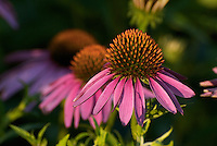 Purple Coneflower (Echinacea purpurea) In Bigelow Cementary State Nature Preserve (an original Tallgrass Prairie remnant). This species, native to eastern North American, is a butterfly attractant, and favorite food source for American Goldfinch once the heads have gone to seed. People use Echinacea medicinally, as it purportedly has strong immune system boosting effects. Often used in tincture form to fight of the common cold.