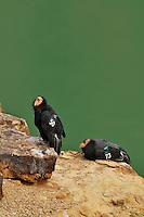 California Condor (Gymnogyps californianus), Grand Canyon National Park, Arizona.
