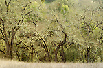 Spanish Moss (Ramalina menziesii) hanging from deciduous trees, Blue Oak Ranch Reserve, Bay Area, California