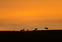 A bull elk looks after his harem at sunrise.