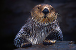 Sea Otter, Seattle, Washington