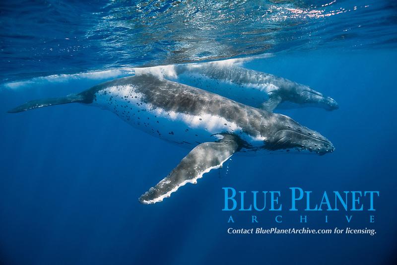 humpback whale, Megaptera novaeangliae, Moorea, French Polynesia, South Pacific Ocean