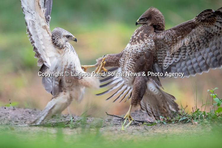 """FIGHT!  A buzzard looks as though it is offering a hug, before lunging in for an attack on a rival.  Larissa Rand, 46, managed to capture these two buzzards in an intense stand-off in a local forest in Brabant, Netherlands. <br /> <br /> Larissa who is the Head of Education for the local school authority in Tilburg said """"These young buzzards have to find their own territory, but start off by remaining close to the place where they were born. Which causes them to accidentally running into each other sometimes.  Most of the time one of them will just fly away, but in some situations they will search for confrontation to show who is the strongest.""""Even though the encounter seems fierce, Larissa sees the comical side of it saying that  """"It is kind of funny to see how they spread their wings as it looks like they want to give each other a hug. Even though the brown buzzard seems to be the one that is trying to calm the hostility, the ensuing fight is won by the blonde buzzard while the brown one flies away.""""<br /> <br /> Please byline: Larissa Rand/Solent News<br /> <br /> © Larissa Rand/Solent News & Photo Agency<br /> UK +44 (0) 2380 458800"""