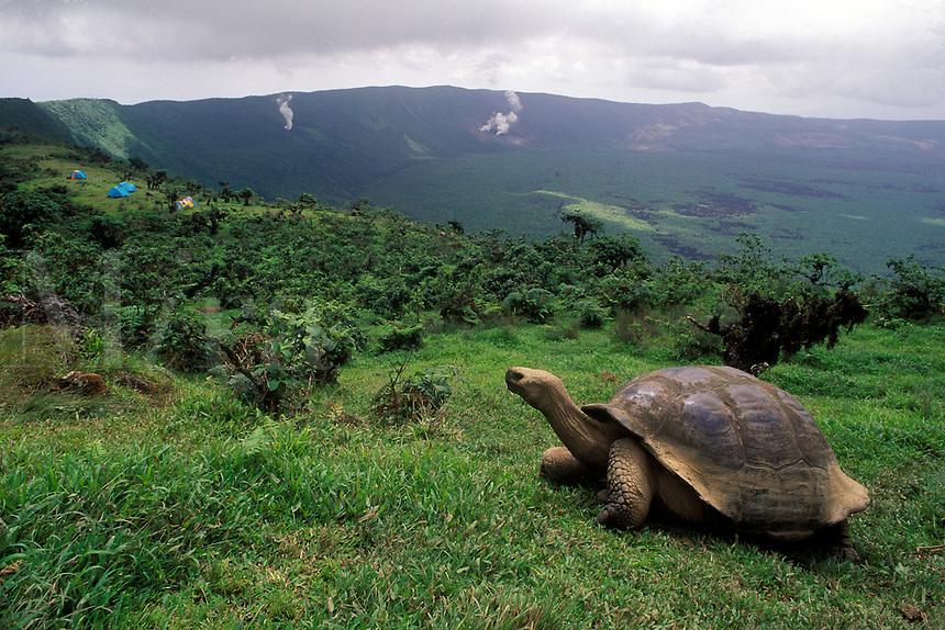 GIANT TORTOISE (Geochelone elephantopus) on ALCEDO CRATER - ISLA ISABELLA, GALAPAGOS ISLANDS, ECUADOR