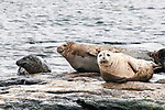 Harbor seal 3 shot hauled out on rocks, Boothbay Harbor, Maine.