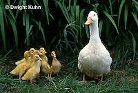DG20-120z  Pekin Duck - ten day old ducklings with adult