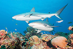 Gardens of the Queen, Cuba; a pair of Caribbean Reef Sharks swimming above the colorful coral reef