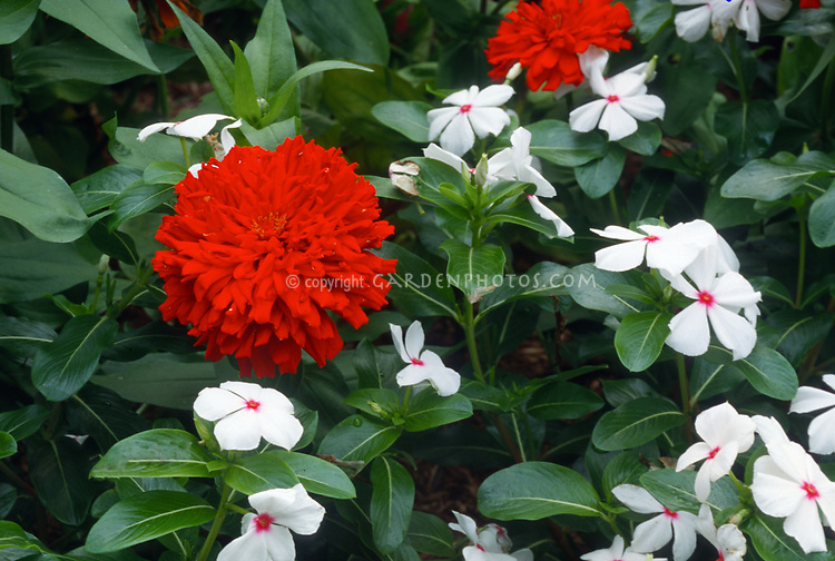 Zinnia 'Scarlet Splendor'  AAS Winner with annual Vinca 'Parasol' Madagascar Periwinkle Catharanthus roseus, annual flowers, red matches red eye of white flower