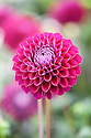 Dahlia 'Ivanette', early July.