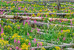 Wildflowers burst into bloom between charred logs, post-fire regrowth, Yellowstone National Park, Wyoming, USA