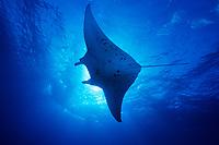 reef manta ray, Mobula alfredi, Cocos Island, Costa Rica, Pacific Ocean