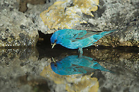Indigo Bunting, Passerina cyanea, male drinking from spring fed pond, Uvalde County, Hill Country, Texas, USA, April 2006