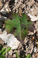 Vine leaf. Cabernet franc. Domaine Charles Joguet, Clos de la Dioterie, Chinon, Loire, France