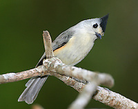 Black-crested titmouse, adult