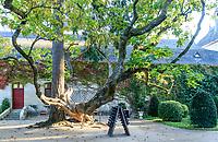 France, Indre-et-Loire (37), Chenonceaux, château et jardins de Chenonceau, vieux Catalpa derrière le bâtiment des Dômes