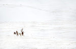 Horses huddle in the snow in Iceland