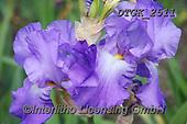 Gisela, FLOWERS, BLUMEN, FLORES, photos+++++,DTGK2511,#f#, EVERYDAY