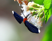 White-tipped black moth