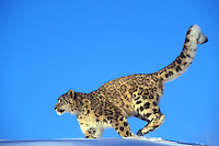 Snow Leopard running across snow--uses long tail for balance.  (Panthera uncia) or (Uncia uncia).  Endangered Species.