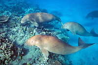 dugongs or sea cows, Dugong dugon, swim over coral reef Indo-Pacific Ocean