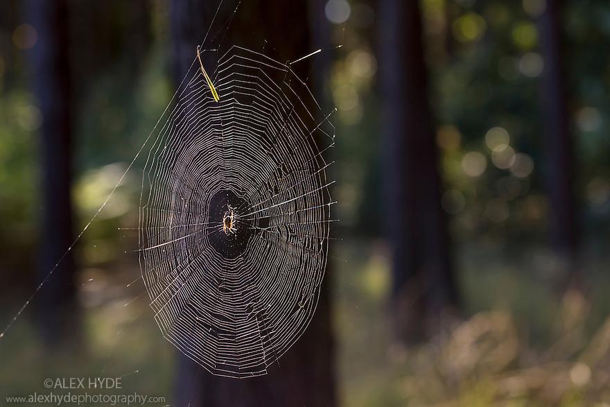 Garden Spider female (Araneus diadematus) in centre of orb web in woodland. Surrey, UK. October.