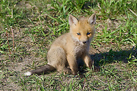 Red Fox Kit sitting on a hill outside of its den