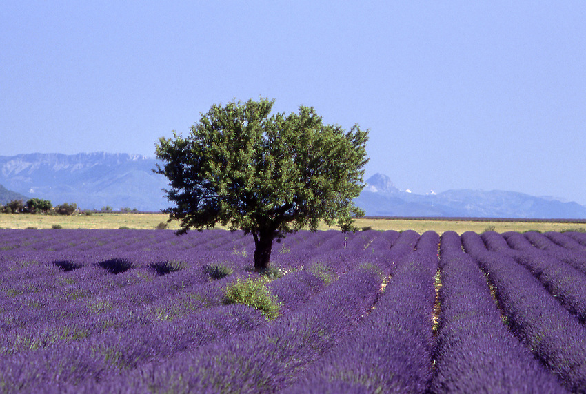 Europe, FRA, France, Provence, Valensole, Field of lavender, Blossom, Almond tree, Lavandula angustifolia, latifolia, hybrida (= intermedia)....[ For each utilisation of my images my General Terms and Conditions are mandatory. Usage only against use message and proof. Download of my General Terms and Conditions under http://www.image-box.com or ask for sending. A clearance before usage is necessary...Material is subject to royalties. Each utilisation of my images is subject to a fee in accordance to the present valid MFM-List...Contact | archive@image-box.com | www.image-box.com ]