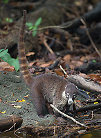 The long banded tail of this raccoon cousin is on display.
