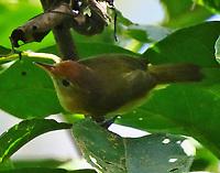 Golden-Fronted Greenlet