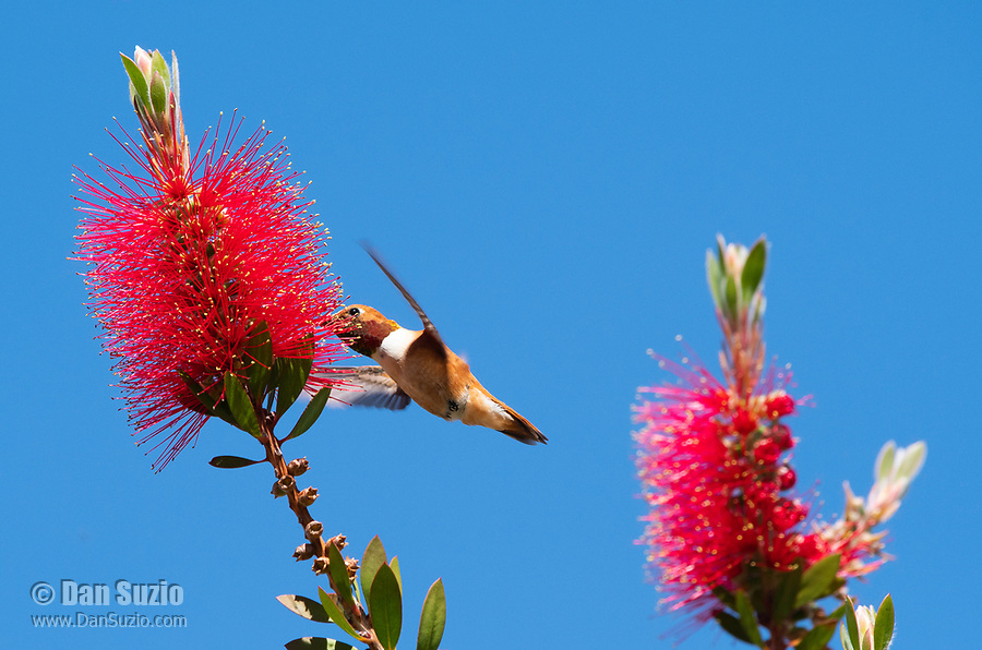 Male Rufous Hummingbird, Selasphorus rufus, feeds from a Bottlebrush flower, Callistemon sp., at Sacramento National Wildlife Refuge, California