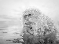 A macaque monkey with young in a thermal pool