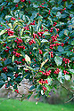 Red berries of Broad-leaved Cockspur Thorn (Crataegus persimilis 'Prunifolia'), mid October.